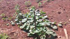 Plant, Soil, Ground, Food, Vegetable, Produce, Field, Tobacco, Leaf, Cabbage, Kale, Vegetation, Kohlrabi, Broccoli