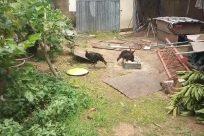 Poultry, Bird, Yard, Backyard, Pig, Hog, Zoo, Countryside, Rural, Shelter, Building, Soil, Boar, Plant, Fowl