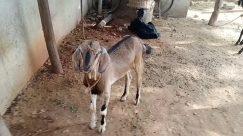 Cow, Cattle, Goat, Canine, Dog, Pet, Soil, Horse, Zoo, Donkey, Wildlife, Bird, Bull, Ground, Antelope