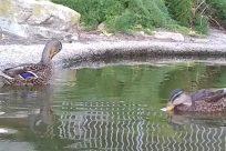 Bird, Water, Waterfowl, Duck, Pond, Zoo, Teal, Mallard, Anseriformes, Fowl, Poultry, Chicken, Goose, Sea Life
