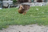 Plant, Grass, Bird, Waterfowl, Vegetation, Yard, Poultry, Chicken, Fowl, Water, Bush, Duck, Mallard, Land, River