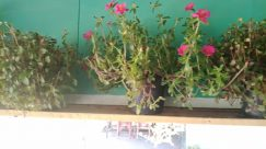 Plant, Vase, Pottery, Jar, Potted Plant, Flower, Blossom, Geranium, Planter, Water, Garden, Vegetation, Bush, Herbs, Balcony