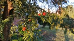 Plant, Tree, Conifer, Yew, Abies, Fir, Leaf, Larch, Food, Fruit, Pineapple, Produce
