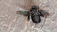 Insect, Invertebrate, Bee, Apidae, Honey Bee, Bird, Andrena, Hornet, Wasp, Bumblebee, Dung Beetle, Asilidae, Fly, Cricket Insect, Arachnid