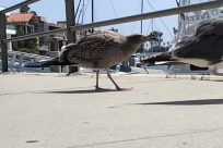 Bird, Seagull, Vehicle, Watercraft, Vessel, Water, Waterfront, Beak, Goose, Waterfowl, Boat, Harbor, Port, Pier, Dock