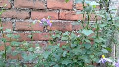 Brick, Plant, Leaf, Wall, Vegetation, Vine, Blossom, Flower, Produce, Food, Wildlife, Vase, Jar, Pottery, Potted Plant