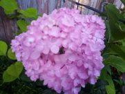 Plant, Vegetation, Bush, Blossom, Flower, Geranium, Petal, Dahlia, Vase, Pottery, Jar, Potted Plant, Peony, Yard, Lilac