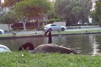 Zoo, Bird, Waterfowl, Water, Goose, Swan, Grass, Plant, Black Swan, Vegetation, Lawn, Park, Pond, Bush, Yard