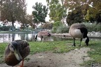 Bird, Waterfowl, Zoo, Goose, Water, Grass, Plant, Pond, Wildlife, Zebra, Lawn, Park, Vegetation, Bush, Poultry