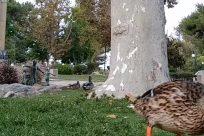 Bird, Waterfowl, Plant, Beak, Poultry, Fowl, Chicken, Vegetation, Duck, Grass, Yard, Zoo, Mallard, Land, Tree