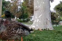 Bird, Waterfowl, Duck, Mallard, Beak, Poultry, Chicken, Fowl, Plant, Grass, Goose, Tree, Vegetation, Zoo, Anseriformes