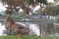 Bird, Water, Duck, Goose, Waterfowl, Zoo, Pond, Plant, Grass, Chicken, Fowl, Poultry, Mallard, Beak, Lawn