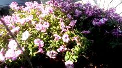 Blossom, Plant, Geranium, Flower, Roof, Vehicle, Car, Automobile, Tree, Building, Wheel, Purple, Vegetation, Shelter, Countryside