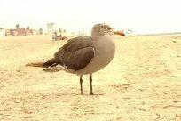 Bird, Seagull, Beak, Sand, Soil, Water, Ocean, Sea, Shoreline, Beach, Coast, Ground, Goose, Flying, Waterfowl