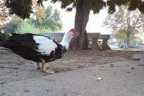 Bird, Fowl, Poultry, Chicken, Beak, Vulture, Turkey Bird, Goose, Plant, Tree, Vegetation, Duck, Yard, Hen, Waterfowl