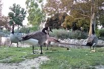 Zoo, Bird, Waterfowl, Path, Grass, Plant, Bush, Vegetation, Ice, Water, Goose, Trail, Park, Lawn, Yard