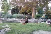 Bird, Water, Goose, Waterfowl, Pond, Yard, Chicken, Fowl, Poultry, Zoo, Plant, Grass, Vegetation, Park, Lawn