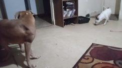 Canine, Dog, Pet, Furniture, Bird, Cattle, Cow, Puppy, Bulldog, Boxer, Floor, Shelf, Bookcase, Flooring, Pillow