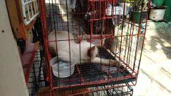 Pet, Cat, Siamese, Rodent, Bunny, Rabbit, Poultry, Bird, Fowl, Chicken, Den, Dog House, Canine, Dog, Husky