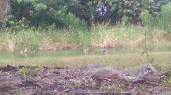 Plant, Vegetation, Ground, Bush, Bird, Land, Wildlife, Deer, Elk, Grass, Tree, Water, Coyote, Waterfowl, Jay