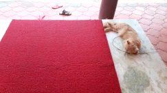 Rug, Vehicle, Motorcycle, Wheel, Cat, Pet, Manx, Home Decor, Cushion, Floor, Pillow, Plant, Flooring, Canine, Dog